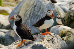 Two puffins standing on a rock Royalty Free Stock Image