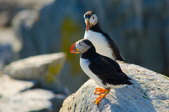 Two puffins standing on a rock together Stock Photo