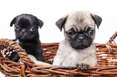 Two pug in the basket. Royalty Free Stock Images