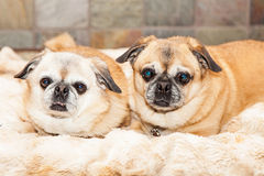 Two Pug Crossbreed Dogs Laying Together on Blanket Royalty Free Stock Images