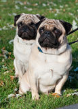Two pug dog Stock Photography