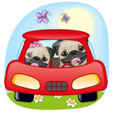 Two Pug Dogs in a car Royalty Free Stock Photo