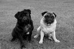 Two pug dogs of different color Royalty Free Stock Photography