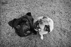 Two pug dogs looking at each other. In black and white Royalty Free Stock Photos