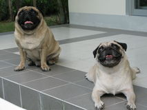 Two pug dogs sitting on floor. Royalty Free Stock Photography