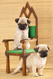 Two Pug puppies. Sitting on a small decorative chair Stock Photo