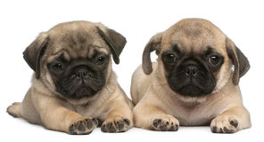 Two Pug puppies, 8 weeks old, in front of white. Background Royalty Free Stock Photography