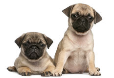 Two Pug puppies, 8 weeks old, in front of white Stock Images