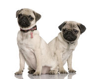 Two pug puppies, in front of white background royalty free stock photos