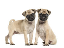 Two Pug puppies, 3 months old, isolated stock photo