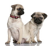 Two pug puppies sitting and looking away Royalty Free Stock Photos