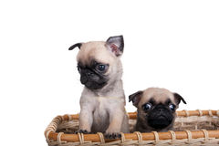 Two pug puppy in a basket Stock Photography