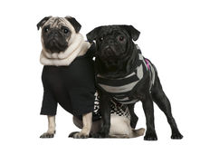 Two pugs, 2 years old and 10 months old, standing. Together in front of white background stock photography