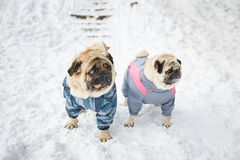 Two pugs in clothing Stock Photos
