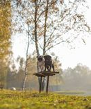 Two pugs, dogs, black and white are standing on a bench with smiling happy faces in a park, on a sunny day royalty free stock photos