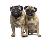 Two pugs Royalty Free Stock Image