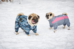 Two Pugs Outdoors Stock Image