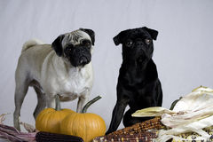 Two pugs ready for Thanksgiving stock photography