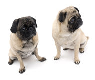 Two Pugs Sitting Stock Image