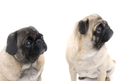 Two Pugs Sitting Royalty Free Stock Photo