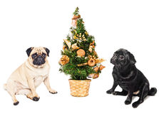 Two pugs sitting by a Christmas tree. Isolated on white Stock Photo