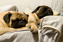 Two Pugs Sleeping Royalty Free Stock Photo