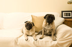 Two Pugs Sleeping. Two Girl Pugs Together on a Couch Royalty Free Stock Photos