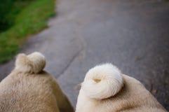 Two pugs walking Stock Image