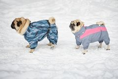 Two pugs walking in clothing Stock Image