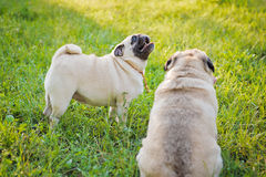 Two pugs Stock Images