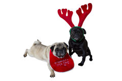 Two Pugs Wearing Christmas Attire Stock Photos