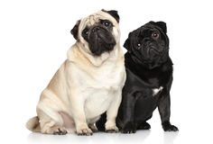 Two pugs on a white background Stock Photo