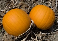 Two pumpkins. On the ground Royalty Free Stock Photo