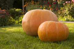 Two pumpkins. Two big pumpkin in the garden Stock Photography