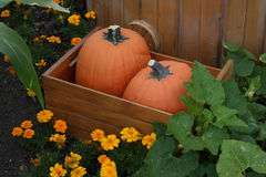 Two pumpkins in a barrel. Two plastic real looking pumpkins in a barrel, set in a garden like scene Royalty Free Stock Photos