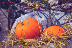 Two pumpkins on display outside in bicycle basket Royalty Free Stock Image