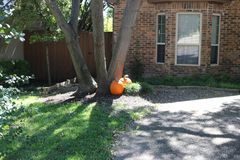 Two pumpkins lean against a tree in front of a house Royalty Free Stock Photo