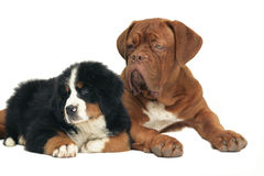 Two puppies. Royalty Free Stock Images