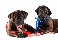 Two Puppies Royalty Free Stock Images