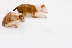 Two puppies Royalty Free Stock Photos
