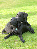 Two Puppies. Two black puppies play in the grass Royalty Free Stock Image