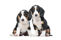 Two puppies. On white background. Westphalian Dachsbracke Royalty Free Stock Images