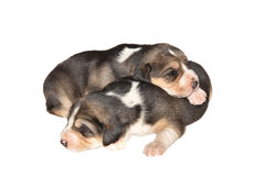 Two puppies. Lay on a floor Stock Images