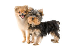 Two puppies. In studio on a neutral background Stock Photo