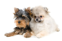 Two puppies. In studio on a neutral background Stock Photos