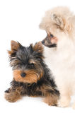 Two puppies. In studio on a neutral background Royalty Free Stock Photography