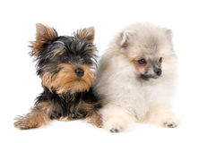 Two puppies. In studio on a neutral background Royalty Free Stock Photo