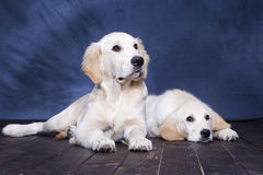 Two puppies. Golden Retriever posing Stock Photos