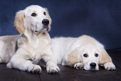 Two puppies. Golden Retriever posing Stock Photo