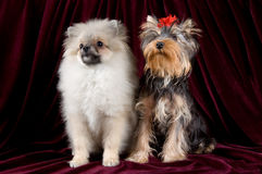 Two puppies. Pose in studio Stock Photography